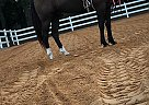 Tennessee Walking Gelding for Sale in Forest, Mississippi
