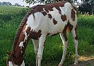 Paint Mare for Sale in Baldwin, Iowa