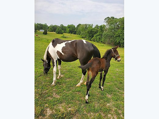 Mule Colt and Gaited Mare