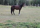 apache - Gelding in Chesuncook, ME