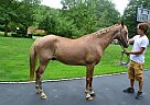 Other Gelding for Sale in Huntington, New York