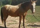 Paint Gelding for Sale in Sylacauga, Alabama