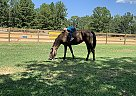 Tennessee Walking Mare for Sale in Helena, Alabama