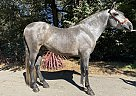 Justino - Stallion in Aptos, CA