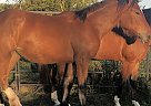 Draft Mare for Sale in Heyworth, Illinois