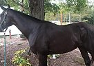 Thoroughbred Mare for Sale in Warsaw, Ohio
