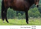 Quarter Horse Gelding for Sale in Indian Valley, Virginia