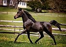 Arabian Stallion for Sale in Kennett Square, Pennsylvania