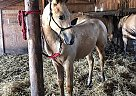 Quarter Horse Mare for Sale in Henry, Illinois