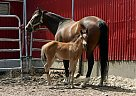 Quarter Horse Mare for Sale in Montréal, Quebec