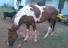 Paint Gelding for Sale in Norman, Oklahoma