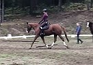 Trakehner Mare for Sale in Nelson, British Columbia