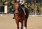 Irish Draught Gelding for Sale in Poway, California