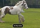 Gypsy Vanner Gelding for Sale in Chuluota, Florida
