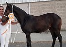 Friesian Stallion for Sale in Springfield, Ohio