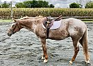 Appaloosa Mare for Sale in Oley, Pennsylvania