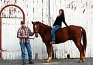 Quarter Horse Gelding for Sale in Fleetwood, Pennsylvania