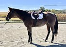 Quarter Horse Gelding for Sale in Oley, Pennsylvania