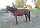 Quarter Horse Gelding for Sale in Pompeys Pillar, Montana