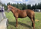 Copper - Mare in Vashon, WA