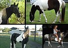 - Gelding in North Fort Myers, FL