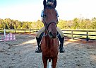 Winston - Gelding in Advance, NC
