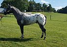 - Stallion in Glasgow, KY