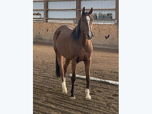 Arabian/TB Cross
