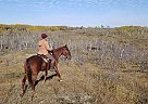 Tennessee Walking Mare for Sale in Viking, Alberta