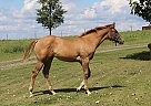 Ms Minnie Bullet - Mare in Albright, WV