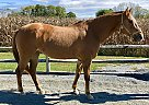 Quarter Horse Mare for Sale in Oley, Pennsylvania