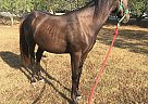 Kobalt - Gelding in Kingston, GA