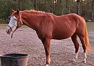 Ariat - Gelding in Plain Dealing, LA