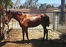 Andalusian Mare for Sale in Rancho Cucamonga, California