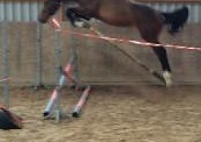 Belgian Warmblood Gelding