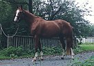 Warmblood Mare for Sale in varennes, Quebec