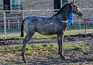 Not Named Yet - Mare in Royse city, TX