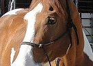 Paint Gelding for Sale in Batesville, Mississippi