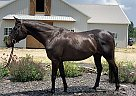 Appendix Mare for Sale in Utica, Ohio