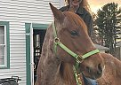 Rango - Gelding in New London, NH