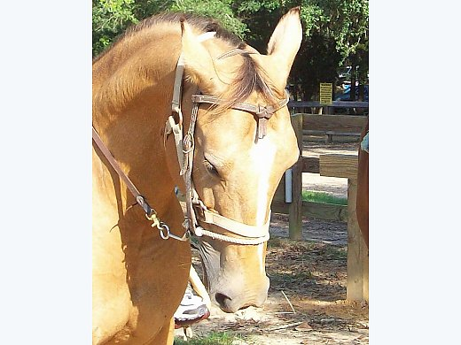Buckskin Mare for Trail Riding