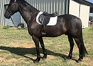 Friesian Gelding for Sale in Vass, North Carolina