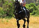 friesian - Stallion in Belvedere, CA