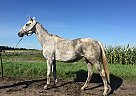 Thoroughbred Mare for Sale in Sabin, Minnesota
