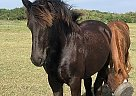 Friesian Mare for Sale in Vass, North Carolina