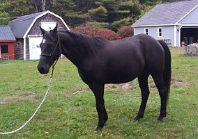 Quarter Horses for Sale in Maine ME - FREE Ads - HorseWeb