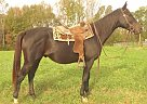Quarter Horse Gelding for Sale in Louisa, Virginia