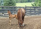 Saddlebred Mare for Sale in Cleveland, Ohio