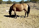 Harley - Gelding in Williams, AZ