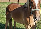 Herald - Gelding in Elgin, TX